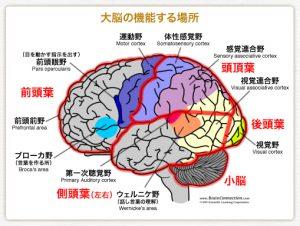 脳の領域のイラスト